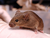 A darting mouse may hold an important clue in the development of Attention Deficit Hyperactivity Disorder (ADHD), autism and bipolar disorder, according to a study by a Vanderbilt University-led research team published in October 2014 in the Proceedings of the National Academy of Sciences.